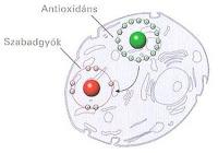 antioxidans_szabadgyok