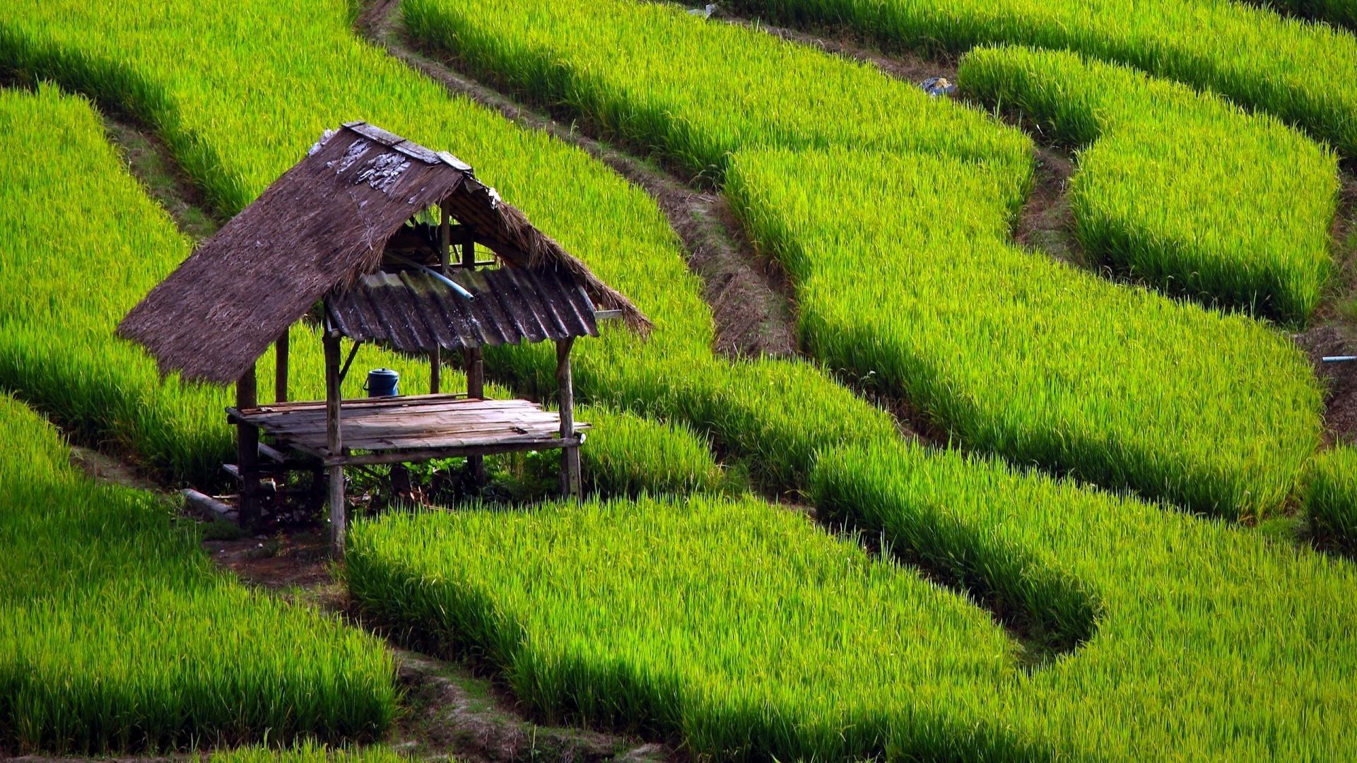 6961034-rice-field-wallpaper